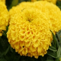 1468401324_Marigold Flowers Wallpapers 06.jpg